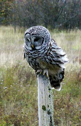owl in the slough