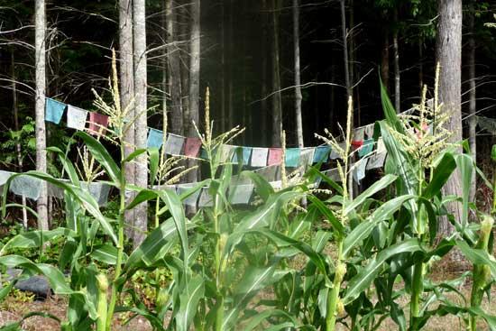 Bud's corn