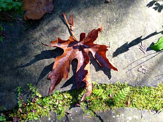 Big Leaf Maple leaf in October
