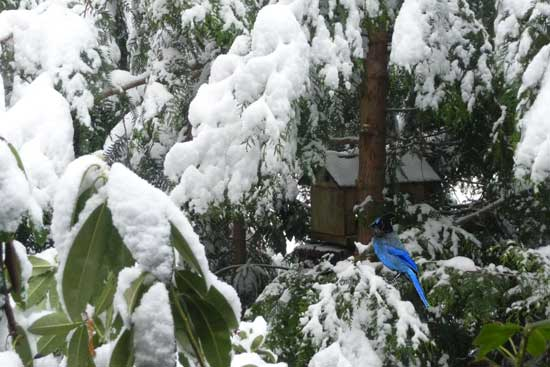 Stellers Jay in the Snow