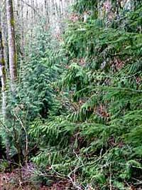 cedars in the wind