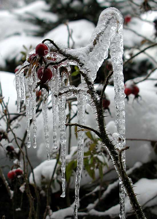 Rosehip Icicles