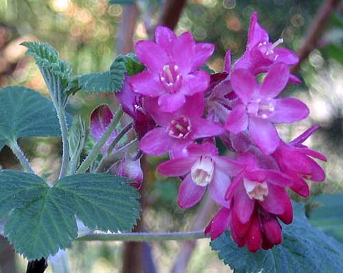 red-flowering currant