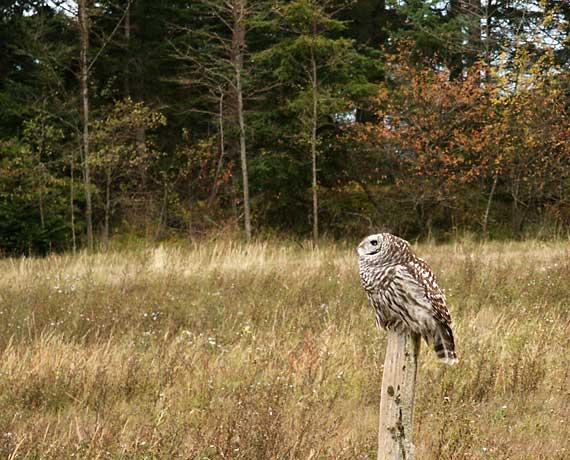 hallows owl