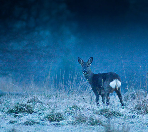 Roe Deer by Jason Smalley