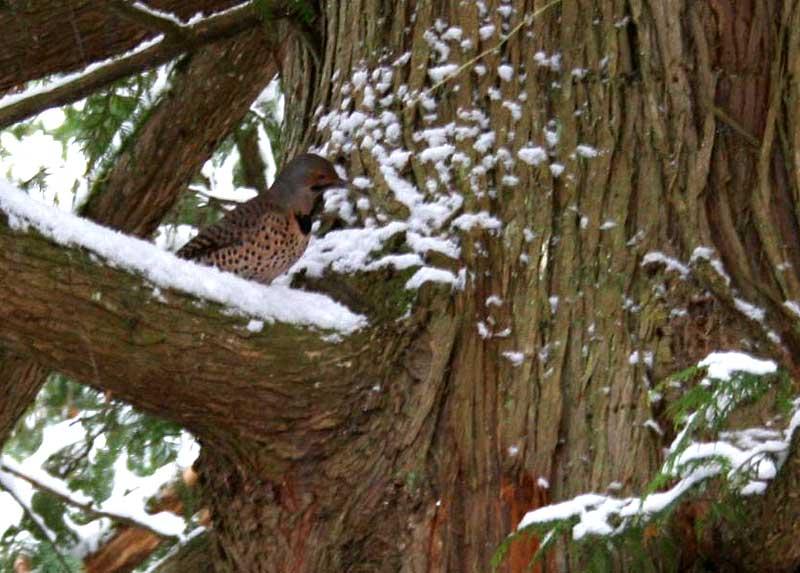Northern Flicker in Cedar