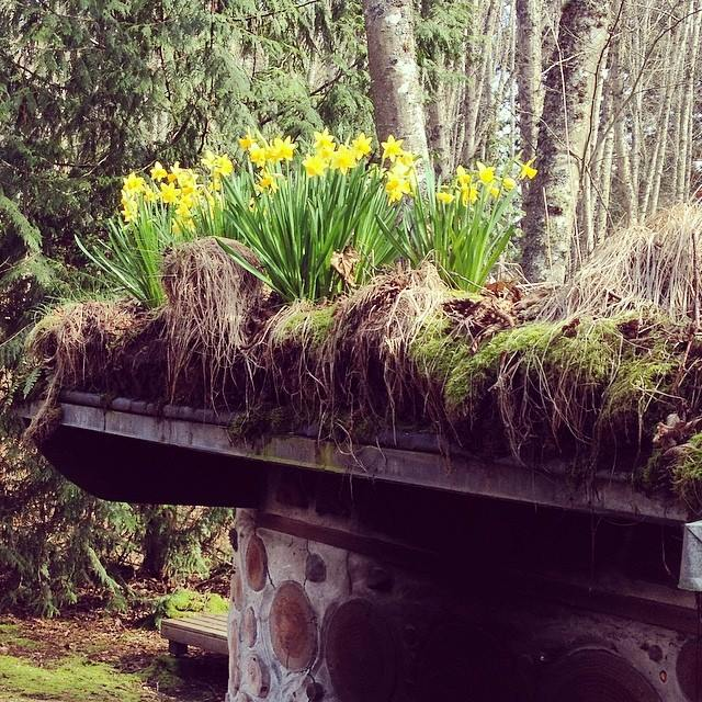 Daffodils on the cordwood sauna