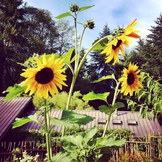 aldermarsh sunflowers