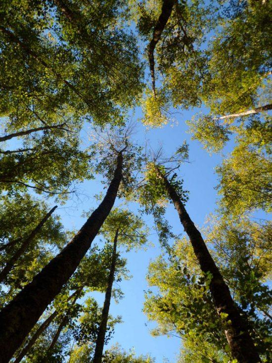 Looking up to the alders. Photo by Karen Karlovich.