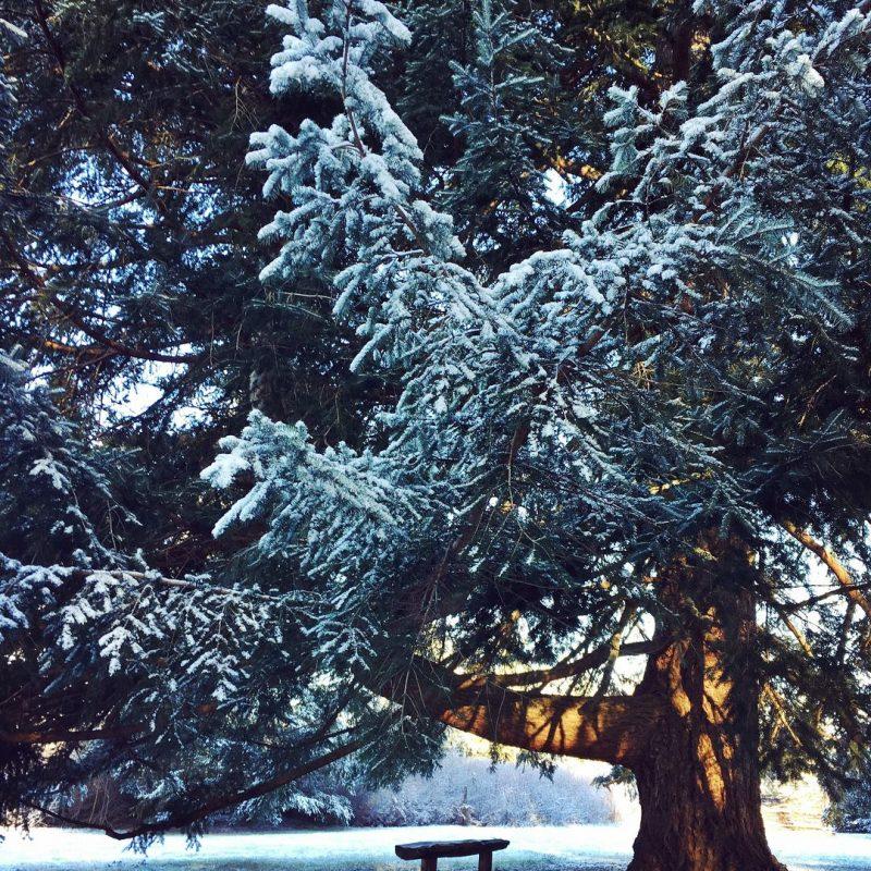 Fir, Snow