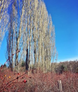 wild rose thicket & cottonwoods