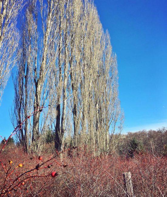 wild rose thicket & cottonwoods