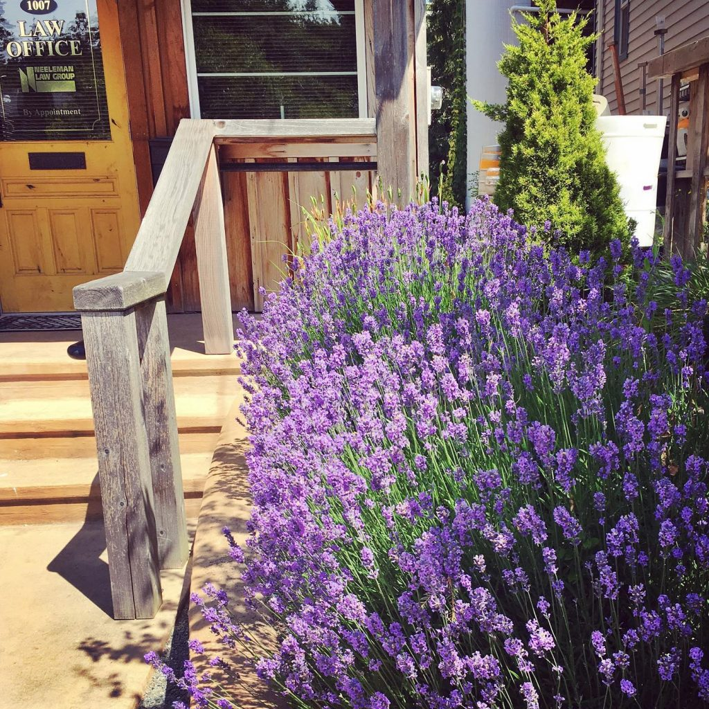 Lavender by the lawyer's office